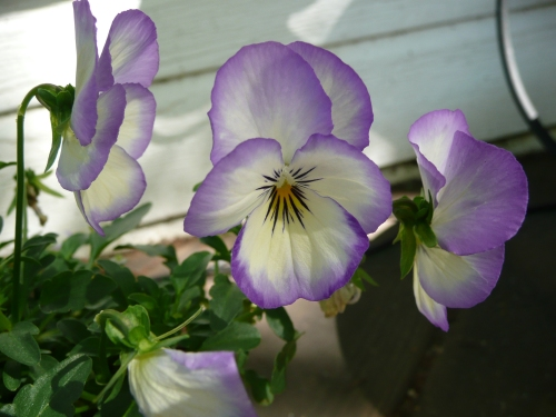 "Viola cornuta ""Coconut Swirl"""